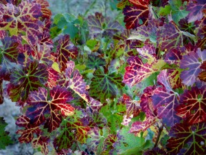 vine-leaves-958356_1280de nuevo noviembre